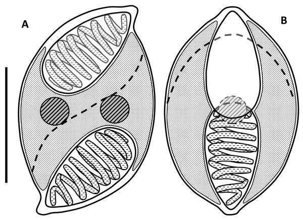 Line drawings of myxospores of Enteromyxum caesio n. sp.