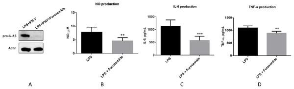 Furosemide significantly inhibits pro-inflammatory responses.