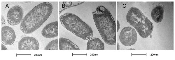 Treatment with SAG led to changes in the cell morphology of P. rettgeri.