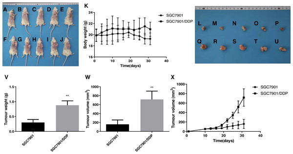 Effects of the multidrug resistance of gastric cancer cells on the tumor volume in mice treated with the chemotherapeutic drug 5-FU.