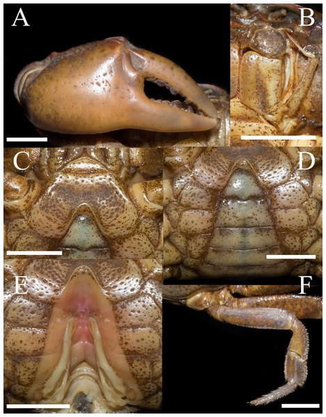 Heterochelamon huidongense n. sp. Holotype male (25.8 × 23.1mm) (NCU MCP 423601).