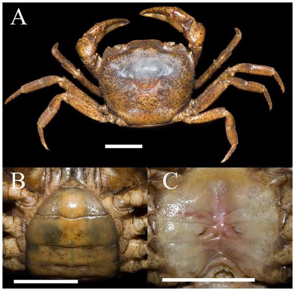 Heterochelamon huidongense. n. sp. Paratype female (26.1 × 23.5mm) (NCU MCP 423603).
