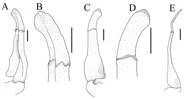 Gonopods of holotype of Heterochelamon huidongense n. sp.
