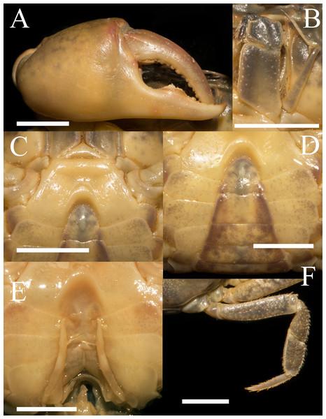Heterochelamon jinxiuense. n. sp. Holotype male (24.6 × 19.8mm) (NCU MCP 342001).