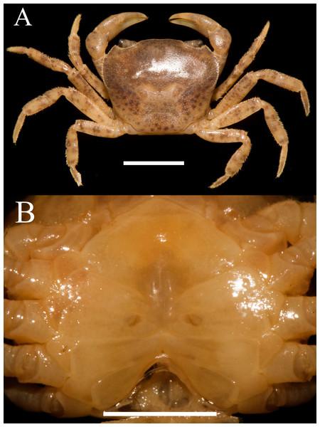 Heterochelamon jinxiuense. n. sp. Paratype female (12.9 × 10.4mm) (NCU MCP 342003).