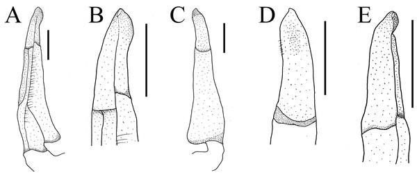 The first gonopods of holotype of Heterochelamon jinxiuense n. sp.