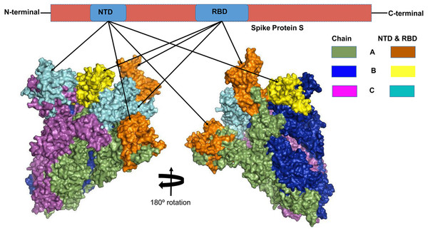 The three-dimensional (3D) structure of the N-terminal domains (NTDs) and receptor binding domains (RBDs) of the spike (S) proteins of SARS-CoV-2 (surface view).