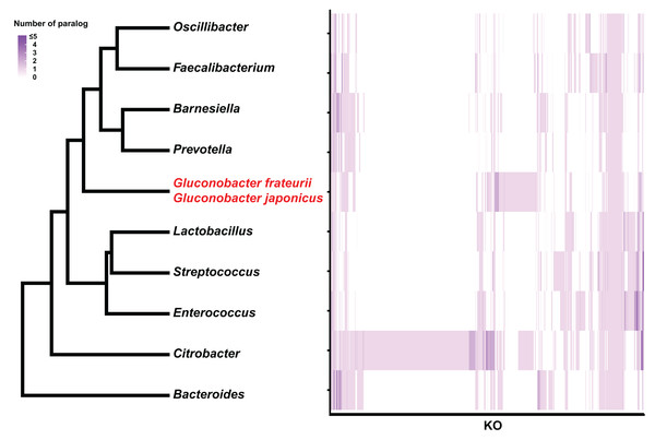 Hierarchical clustering of bacterial genera based on the number of paralogs for each KO term.