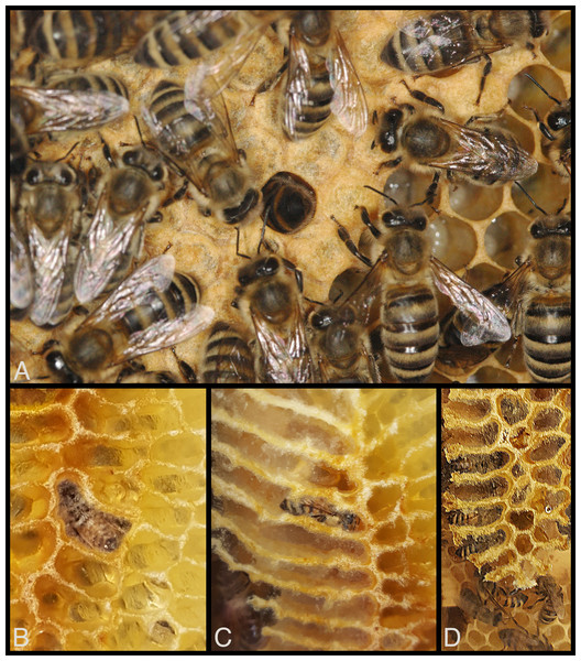 Visibility of honey bee workers deep inside cells in observation hives.
