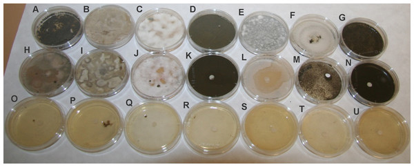 Antifungal activity of kubicin and thymol against tested fungal strains.