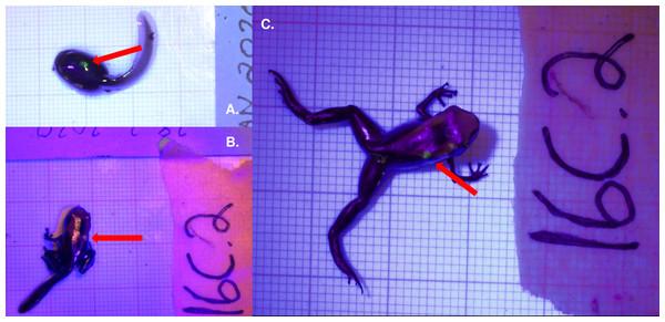 Fluorescent green VIE tag inserted dorsally on Dendrobates tinctorius.