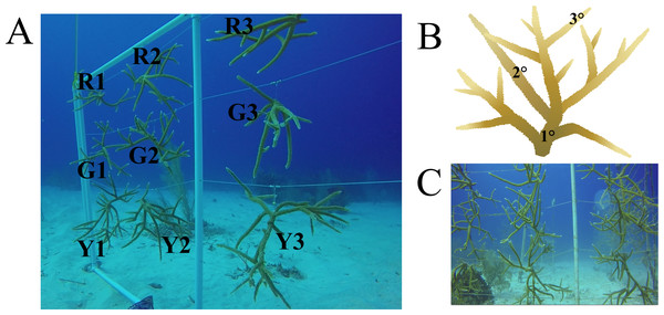 Nursery-reared Acropora cervicornis sampled in December 2017 for microbial community composition.