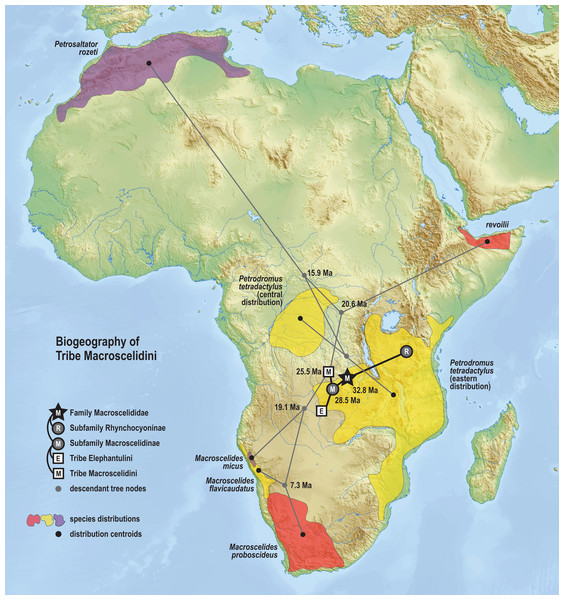 Ancestral biogeography model for tribe Macroscelidini.