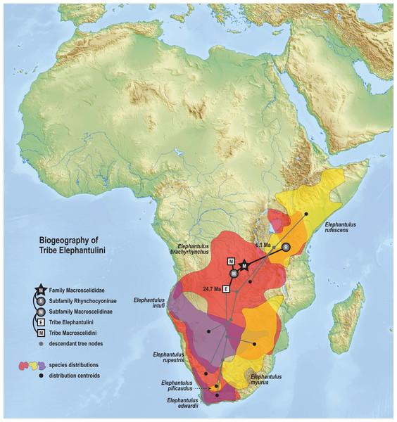Ancestral biogeography model for tribe Elephantulini.
