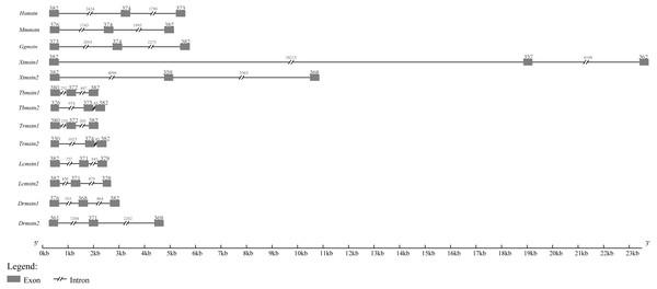 Schematic comparison of Tbmstn1 and Tbmstn2 genomic organization with other vertebrates mstn genes.