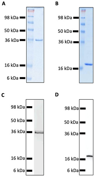 SDS-PAGE and Western Blot Analysis of purified recombinant MUL_3720 and Hsp18 proteins.