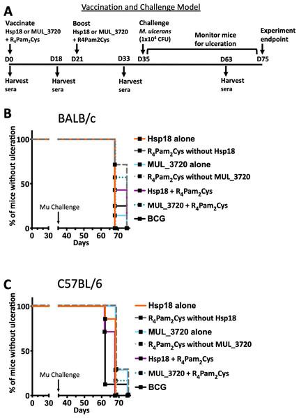 Vaccine performance using murine tail infection model of BU.