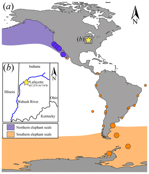 Map showing the extant elephant seals distribution ranges in the Americas and adjacent areas and detail of the geographic location where USNM 375734 was found.