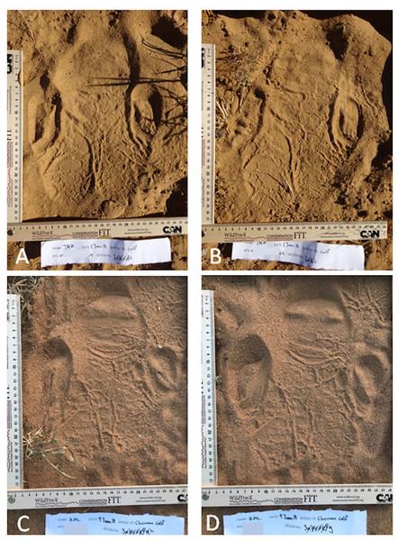 A left hind rhino footprint showing distinctive heel lines.