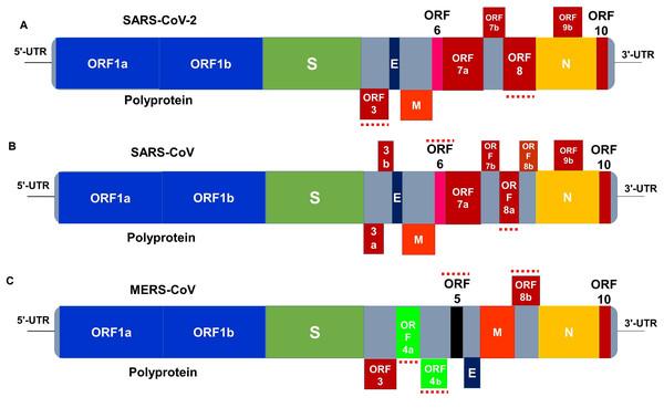 Genome organization of (A) SARS-CoV-2, (B) SARS-CoV and (C) MERS-CoV.