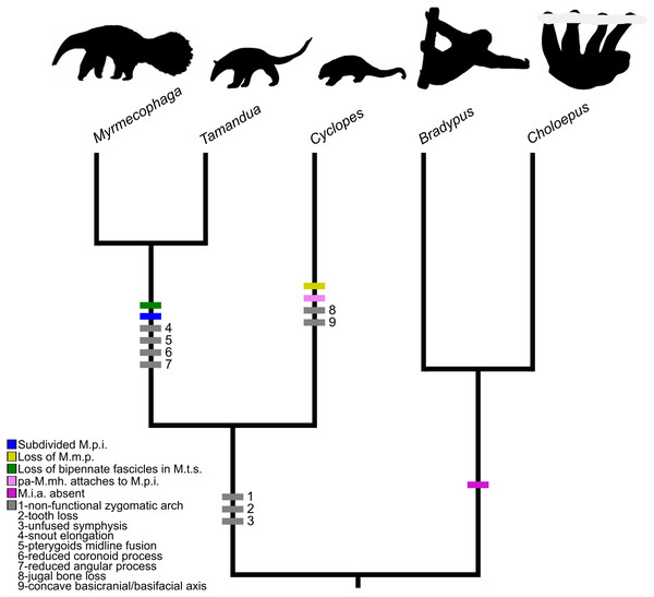 Mapping of muscular and osteological discrete traits in simplified phylogeny of Pilosa.
