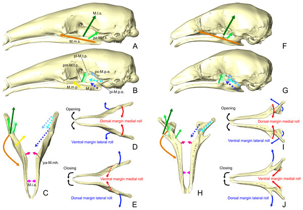 Masticatory and intermandibular muscles lines of action and mandibular dynamics in T. tetradactyla (A-E) and C. didactylus(F-J).