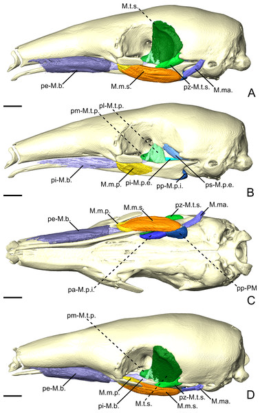 The masticatory and facial-masticatory musculature of T. tetradactyla in lateral (A, B), ventral (C), and dorsolateral (D) views. Scale bar 10 mm.