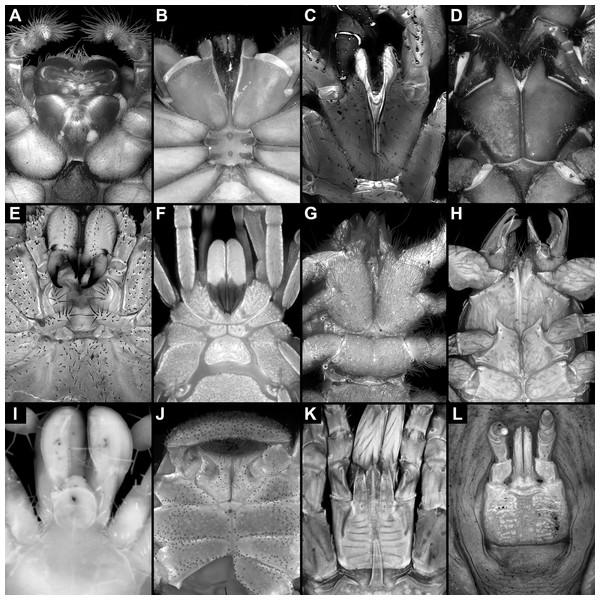 Feeding apparatuses of different extant representatives of Arachnida.