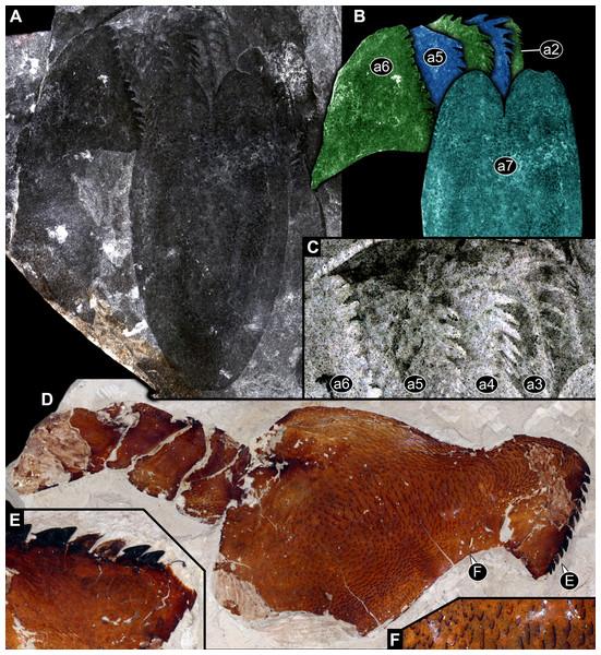 Parts of feeding apparatuses of Eurypterida.