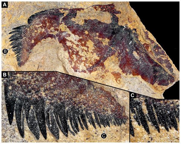 Isolated basipod, presumably of leg of post-ocular segment 6, of NRM Ar31829, undetermined representative of Eurypterida, Visby, Gotland, Sweden.