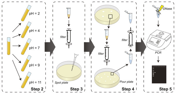 Schematic of experimental steps of the protocol from culturing prophage-containing bacteria to PCR-based identification.