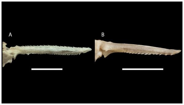 Dorsal-fin spine of Pseudopimelodus magnus, paratype, IMCN 8265, 213.7 mm SL (A) and P. atricaudus, paratype, IMCN 8266, 203.5 mm SL (B).