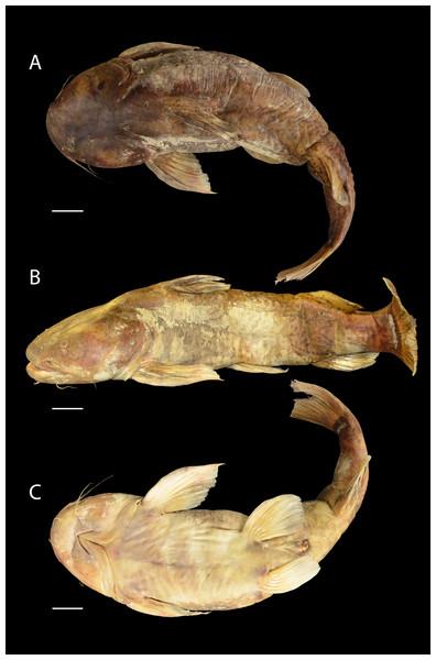 Pseudopimelodus magnus, holotype, CIUA 5142, 750 mm SL, Colombia, Antioquia, Magdalena River basin, Cauca River in Venecia.