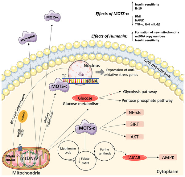 Diagram of the effects of mitochondrial peptides MOTS-c and humanin.