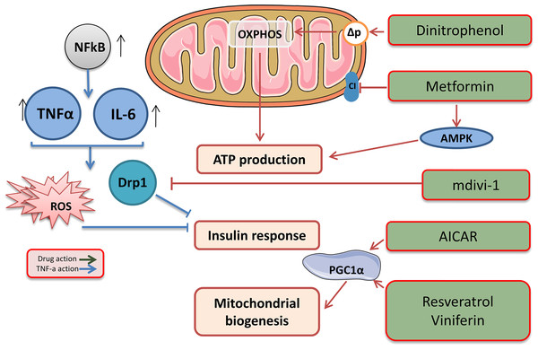 Target drags for the regulation of biogenesis and functioning of mitochondria.