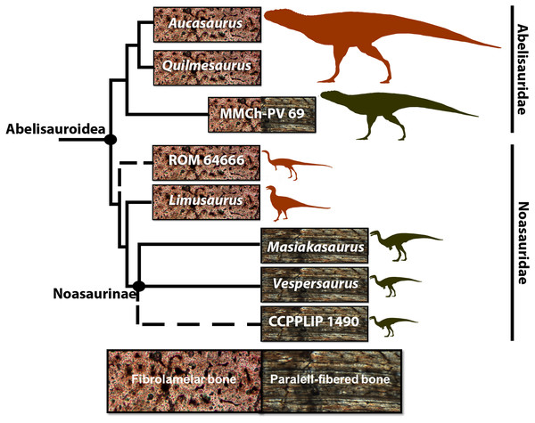 Cladogram of Abelisauroidea, comparing body length and primary bone tissue type of the histologically analyzed taxa.