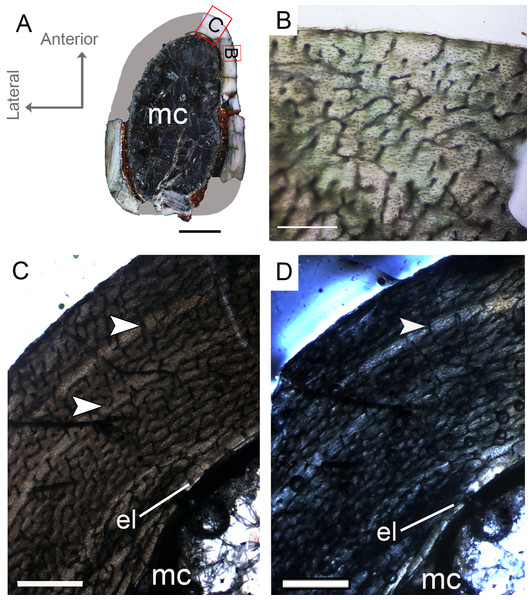 Femoral Histological Class (FHC) I of Vespersaurus paranaensis.