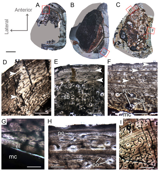Femoral Histological Class (FHC) II and III of Vespersaurus paranaensis.
