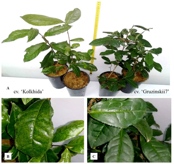 The experiments on tea plants cold and frost induction.