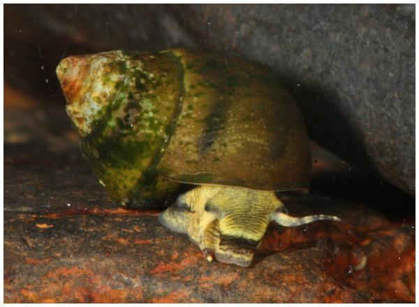 Photograph of live L. compacta.