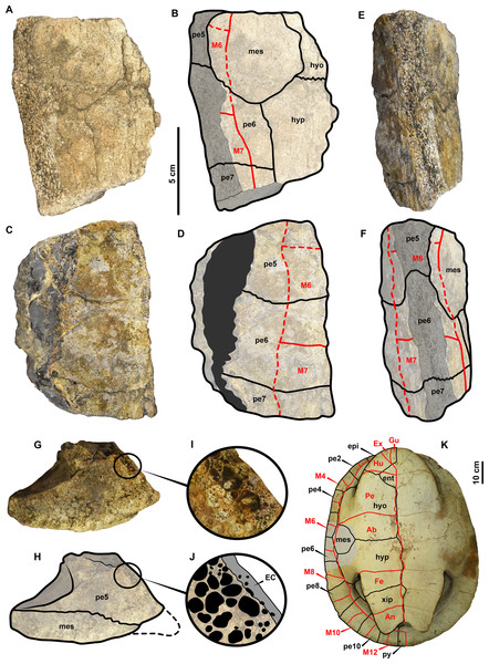 UR-CP-0025 Pelomedusoides shell bridge fragment from the Valaginian of Colombia.