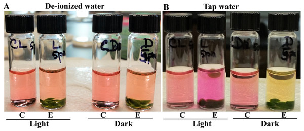 Photosynthesis and cellular respiration-induced pH/color changes in vials containing Chlamydomonas 4A+ strain beads in de-ionized water and tap water.