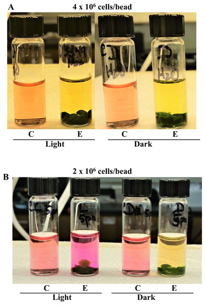 Effect of cell numbers per Chlamydomonas 4A+ strain bead on photosynthesis and cellular respiration-induced pH/color changes in tap water.