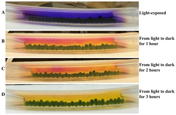 Time course monitoring of cellular respiration-induced color/pH changes in the light-adapted 4A+ bead bracelet when shifted to darkness.