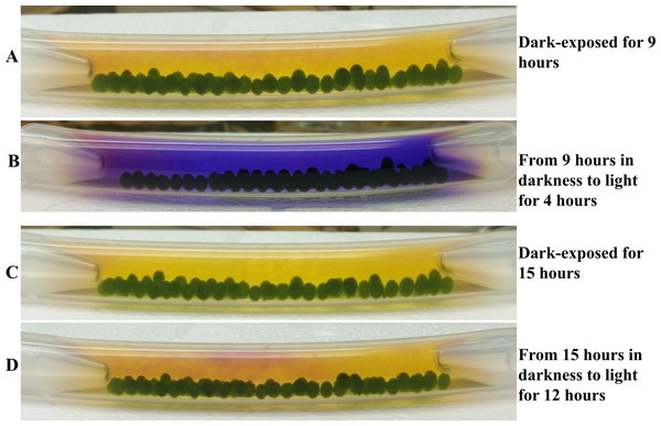 Effect of prior dark exposure duration on photosynthesis-induced color/pH changes in 4A+ bead bracelet in light.
