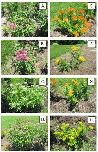 Native wild-type milkweed and cultivars as they appeared in the field in 2019.