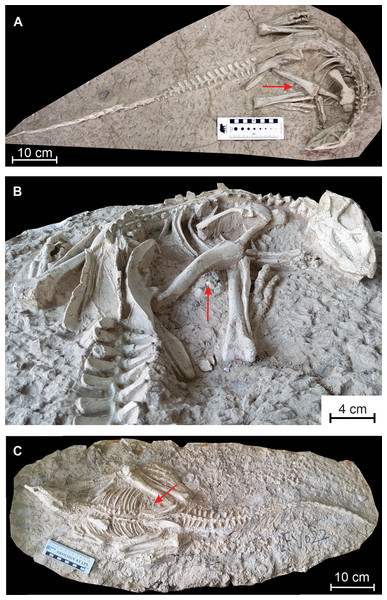 Changmiania liaoningensis, an ornithopod dinosaur from the Lower Cretaceous of Lujiatun (Liaoning Province, China).