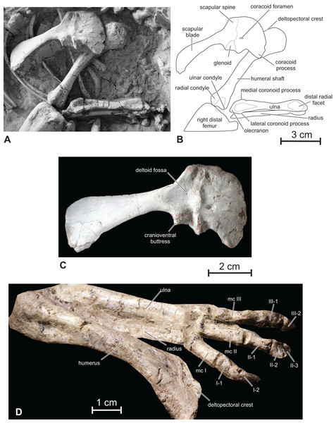 Scapular girdle and forelimb of Changmiania liaoningensis.