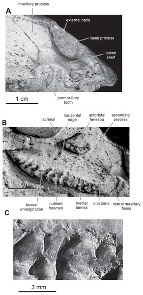 Skull of PMOL AD00114 in right lateral view.