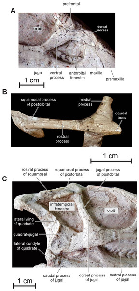 Skull of PMOL AD00114.